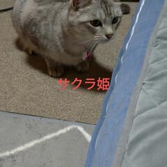 サビ猫/サバトラ/キジトラ/猫との暮らし/ニャンコ同好会 昨夜の テン チロ サクラ😍(5枚目)