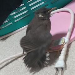出会い/道路/保護/キジトラ/ムクドリ/令和の一枚/... 今日昼前に 保護した鳥ちゃん🐦️  ずっ…(3枚目)