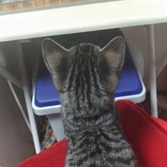 ハリネズミ/ペット/猫/にゃんこ同好会 ポッポが ご飯食べに出てきたら テンちゃ…