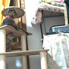 サビ猫/サバトラ/キジトラ/脱走/ニャンコ同好会/猫との暮らし/... メルカリで先日買ったキャットタワー テン…(2枚目)