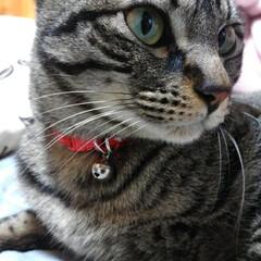 多頭飼い/クール/可愛い/保護猫出身/キジトラ/ニャンコ同好会/... クールなテン😺(長男)  モモちゃんの発…