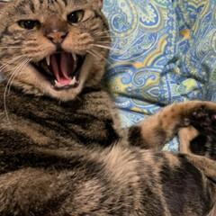 幸せに暮らしています/野良猫から飼い猫へ/ありがとう/里親さん/アメショー系/さくら耳/... 野良保護猫 そらくん 里親さんの お家で…(4枚目)