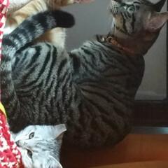 仲良し/保護猫/茶トラシロ/サバトラ/キジトラ/ハンドメイド/... ついに  つ~いに 先日メルカリで 一目…