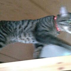 キジトラ/にゃんこ同好会/キャットウォーク/猫との暮らし/雷怖い/猫 暑い💦室内31℃ 暑い部屋はクーラーつけ…(3枚目)