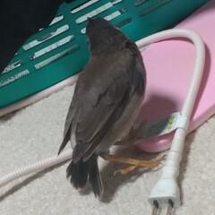 出会い/道路/保護/キジトラ/ムクドリ/令和の一枚/... 今日昼前に 保護した鳥ちゃん🐦️  ずっ…(2枚目)