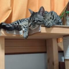 ランチ/保護猫/キジトラ/テレビ/令和の一枚/LIMIAペット同好会/... 昨夜のテン😺💤 眠いのにテレビ見て 森三…