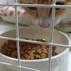 食べすぎ/茶トラ白/食欲/耳掃除/耳ダニ/保護猫/... 保護猫ちゃん テンちゃんより食べる😅育ち…