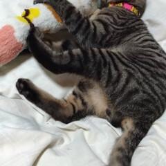 保護猫/キジトラ/風邪/ペット/猫/にゃんこ同好会 風邪ひいたので  テンちゃんと布団で遊ぶ…(3枚目)