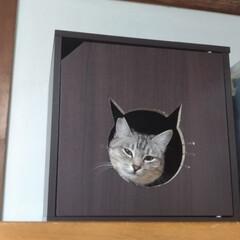 サバトラ/隠れる猫/カラボ/猫ハウス/ニャンコ同好会/梅雨/... 昨日は 暑く 夜中まで室内でサクラが 洗…
