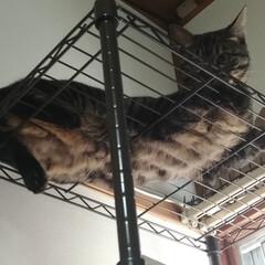 キジトラ/茶トラ白/保護猫/トイレ/洗い桶/二階建て/... 保護猫茶トラ白は、 一段のケージに入れる…(5枚目)