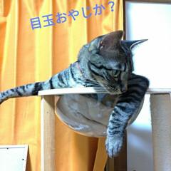 へそ天/腹だし/キャットタワー/宇宙船/キジトラ/猫との暮らし 今日も朝 変な格好のまま 頭だけ動かす🐱…(6枚目)