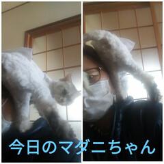 保護猫/ジモティー/残念/野良猫/肩乗り猫/アルストロメルア/... 今日のマダニちゃんは、 自分から 縦抱っ…(1枚目)