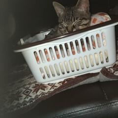 保護猫/キジトラ/ペット/猫/にゃんこ同好会/100均 テンちゃんに 100均のカゴ 2つ買いま…