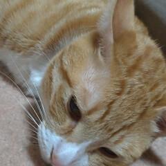 寝相/可愛い/寝る/ニャンコ同好会/猫との暮らし/猫 眠い猫衆🐱💤  もう少ししたら 起きて暴…(3枚目)