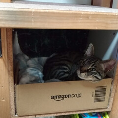 保護猫/キジトラ/LIMIAペット同好会/ペット/猫/にゃんこ同好会/... 昨夜のテン😸 昼に ボックス中央に在った…(2枚目)