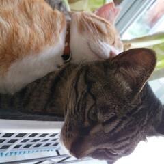 サバトラ/キジトラ/茶トラ白/保護猫/仲良し/寝姿/... 3匹の寝姿☺️  色々だな~😸💕(5枚目)