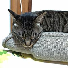 サビ猫/サバトラ/キジトラ/猫との暮らし/ニャンコ同好会 昨夜の テン チロ サクラ😍(3枚目)