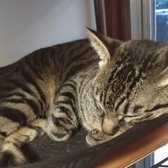 雨/寒い?/保護猫出身/可愛い/お昼寝/キジトラ/... 今日も天気は雨で お昼頃、テンは寒かった…(2枚目)