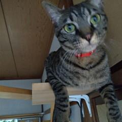 キジトラ/にゃんこ同好会/キャットウォーク/猫との暮らし/雷怖い/猫 暑い💦室内31℃ 暑い部屋はクーラーつけ…