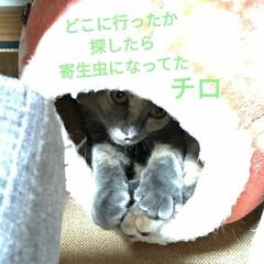 サビ猫/サバトラ/キジトラ/猫との暮らし/ニャンコ同好会 昨夜の テン チロ サクラ😍(4枚目)