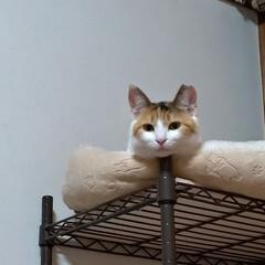 保護猫ケージ/食器棚上/物入れ/ワイヤーネットでバリケード/知恵比べ/猫との戦い/... モモちゃん 歌う♪ テンの雄叫び♪  食…(2枚目)