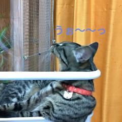 保護猫ケージ/食器棚上/物入れ/ワイヤーネットでバリケード/知恵比べ/猫との戦い/... モモちゃん 歌う♪ テンの雄叫び♪  食…(4枚目)