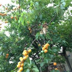 眠い/暑い/畑/家庭菜園/酸っぱい/杏 蒸し暑い~😥 叔母小 畑の勝手に生えたゴ…(1枚目)