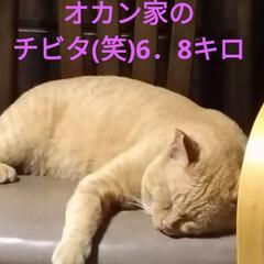 里親/東京/グレー/オカン/茶トラ/チビタ/... マルちゃん爆睡  保護猫グレーちゃん 真…(4枚目)