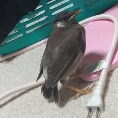 出会い/道路/保護/キジトラ/ムクドリ/令和の一枚/... 今日昼前に 保護した鳥ちゃん🐦️  ずっ…
