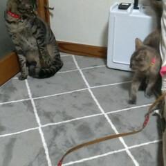 野良猫/保護猫/先住猫/猫のいる暮らし/ニャンコ同好会 チビチビちゃん  最近お腹減ったら大きな…