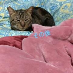 幸せに暮らしています/野良猫から飼い猫へ/ありがとう/里親さん/アメショー系/さくら耳/... 野良保護猫 そらくん 里親さんの お家で…(2枚目)