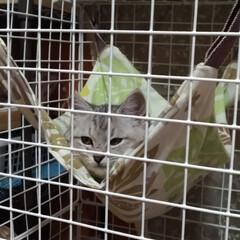 遊び/おもちゃ/避妊手術/茶トラ白/サバトラ毛長/強制慣れさせ中/... 保護猫サクラ 前に作ったハンモックを気に…(3枚目)