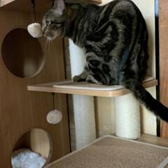 幸せに暮らしています/野良猫から飼い猫へ/ありがとう/里親さん/アメショー系/さくら耳/... 野良保護猫 そらくん 里親さんの お家で…(3枚目)