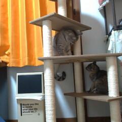 サビ猫/サバトラ/キジトラ/脱走/ニャンコ同好会/猫との暮らし/... メルカリで先日買ったキャットタワー テン…(10枚目)
