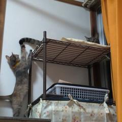 ありがとう/ニャンコ同好会/猫のいる暮らし/片付け/テレビ/付添い/... チビチビちゃん テンのシッポで 遊んで貰…
