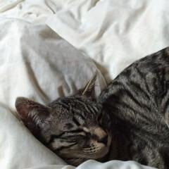 インフルエンザ/ペット/猫/にゃんこ同好会 癒やしの寝顔😸 土曜日から 咳と解熱剤飲…