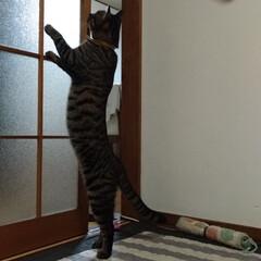 遊び/猫じゃらし/キジトラ/LIMIAペット同好会/にゃんこ同好会/100均/... テンちゃん?😸 お腹かわいいね、何が あ…