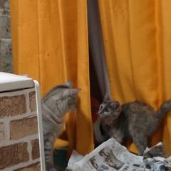 にゃんこ同好会/猫との暮らし/保護猫/キャットタワー/似合わない/不良品/... サクラの鈴付きゴム首輪作ってあげようと思…(9枚目)