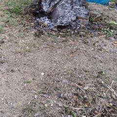 庭掃除/暑い/ドラム缶/枝焼き/ゴミ焼き/掃除/... 久々の枝草焼き  十年くらい畑に放置ドラ…