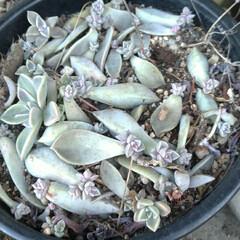 掃除/寒い/朧月/オリズルラン/植物/多肉植物/... 今日は 風が強くて寒~い💦💦  昼から …(2枚目)