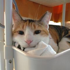 眠たい猫/掃除機/猫の歯/キジトラ/三毛猫/ポカリスエット/... 今日は数年合ってない、いとこがポストに物…(1枚目)