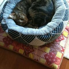 幸せに暮らしています/野良猫から飼い猫へ/ありがとう/里親さん/アメショー系/さくら耳/... 野良保護猫 そらくん 里親さんの お家で…(5枚目)
