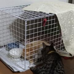 茶トラ白/キジトラ/猫簡易ケージ/鳴く/保護猫/猫/... 保護猫対 元保護猫先住猫テン  グルル …