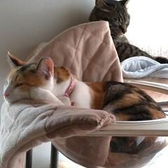 猫オモチャ/猫との暮らし/キャットタワー合体/キャットタワー部品/爪とぎ/キャットタワー/... オモチャで密かに遊んでたサクラに カメラ…(7枚目)