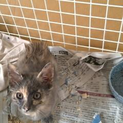 治療/保護猫/ニャンコ同好会/捕獲猫/迷い猫/捨て猫/... とりあえず目薬治療するのに お隣の空き部…(2枚目)