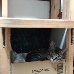 保護猫/キジトラ/LIMIAペット同好会/ペット/猫/にゃんこ同好会/... 昨夜のテン😸 昼に ボックス中央に在った…(4枚目)