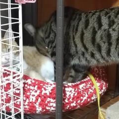 仲良し/保護猫/茶トラシロ/サバトラ/キジトラ/ハンドメイド/... ついに  つ~いに 先日メルカリで 一目…(4枚目)