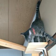 キジトラ/にゃんこ同好会/キャットウォーク/猫との暮らし/雷怖い/猫 暑い💦室内31℃ 暑い部屋はクーラーつけ…(2枚目)