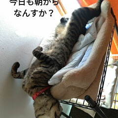 へそ天/腹だし/キャットタワー/宇宙船/キジトラ/猫との暮らし 今日も朝 変な格好のまま 頭だけ動かす🐱…(3枚目)