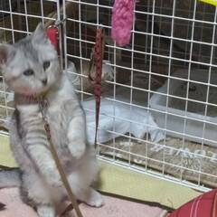 遊び/おもちゃ/避妊手術/茶トラ白/サバトラ毛長/強制慣れさせ中/... 保護猫サクラ 前に作ったハンモックを気に…(4枚目)